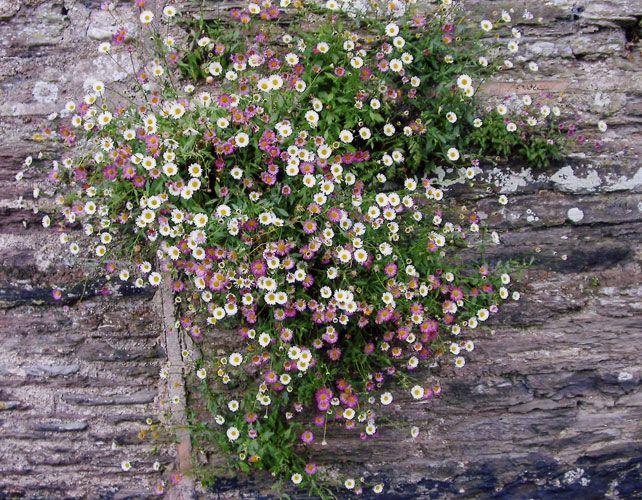 Erigeron karvinskianus (Mexican fleabane) growing in a wall in Slapton, Devon - very small, but so cheerful.