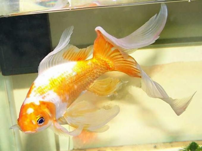 comet goldfish - Google Search
