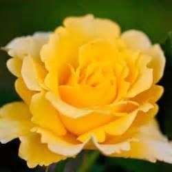 Pesquisa Formas de podar rosas knockout. Vistas 72546.