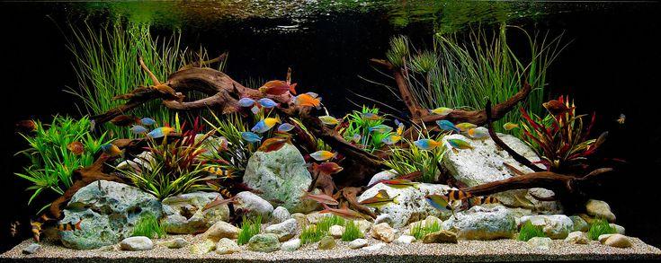 Aquarium Design Group - A Classic Decorative Freshwater Aquascape witrh Driftwood and Stones