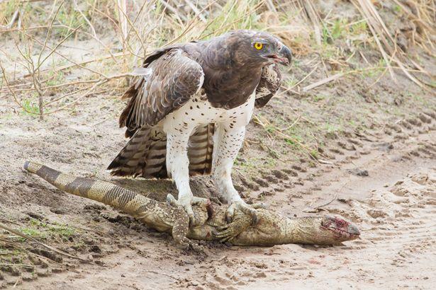 Battle Royal between Martial Eagle and Rock Monitor at Mombo, Okavango Delta