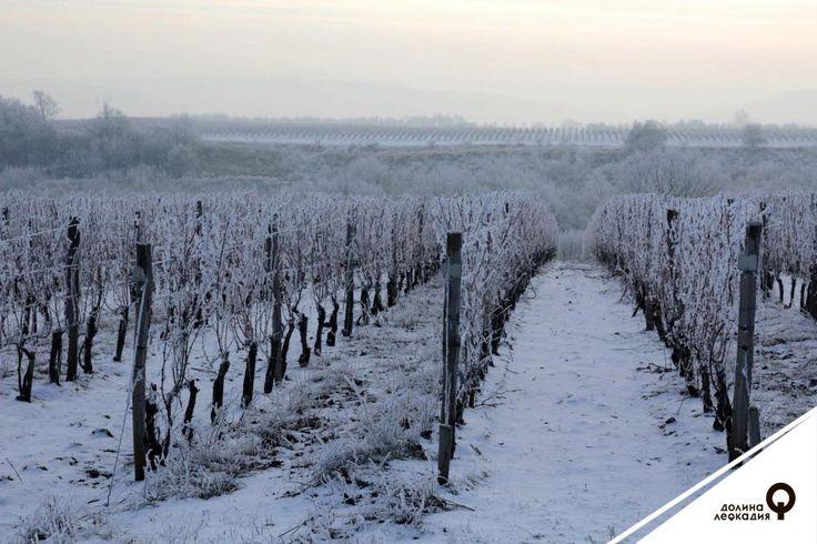 Вот такие «зимние» виноградники можно увидеть в долине Лефкадия. Сейчас виноградные лозы отдыхают, но это не значит, что их нужно оставить в покое и совсем не следить. Работники долины Лефкадия строго следят за заморозками и перепадами температур, ведь от этих факторов напрямую зависит, будет ли вино следующего года и каким оно будет.