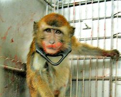 Stop the atrocities at the baby monkey lab at the University of Washington & shut it down for good~ I was horrified when I found out that the University of Washington, where I went to college, performs sickening experiments on monkeys. Employees at the school perform grisly vivisection's, experiments on live animals, drilling holes into the skulls of monkeys, implanting coils on their eyes, & tearing infant monkeys away from their mothers to intentionally cause psychological trauma.