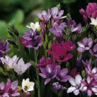 Babiana. Planteaza 1 bulb in martie - aprilie si vei avea un mix de flori albe si mov in iulie - august.