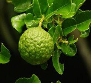 kaffir lime: ricco di Vitamine B1, B2, B3, B5, B12, C, E, Biotina e Proteine. Ottenuta al 100% da estratto di agrumi da agricoltura biologica.  Vitamine per la ricrescita dei capelli.