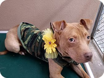 Media, PA - Pit Bull Terrier Mix. Meet Kelly O'Malley - SPECIAL a Dog for Adoption.