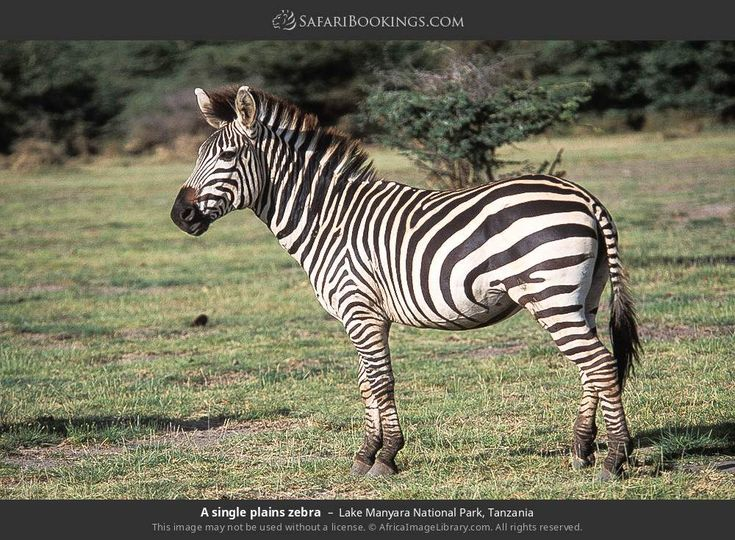A single plains zebra in Lake Manyara National Park, Tanzania ||  Lake Manyara National Park, Tanzania. Photo by Ariadne van Zandbergen.