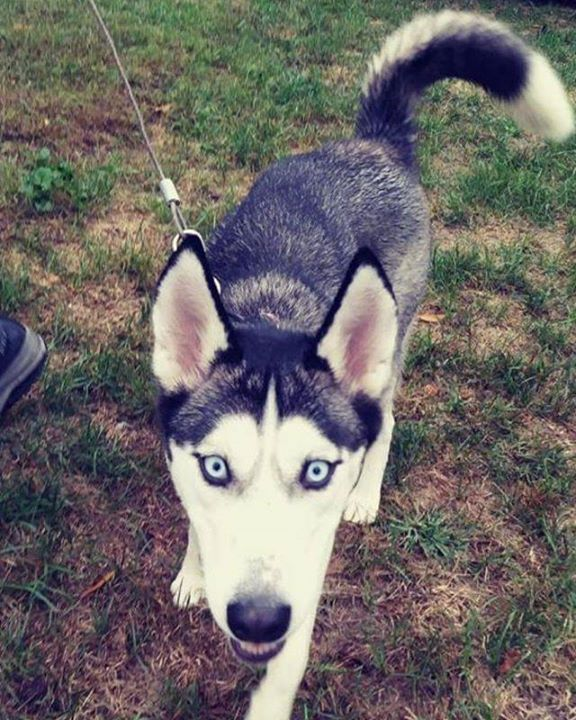 Lost Dog South St Paul Husky Female Date Lost 10 30 2018