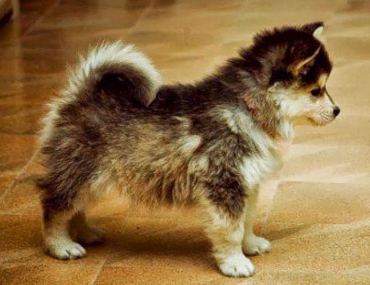 Adopting a Pomeranian Husky - Must Have Before Bringing Your Pomsky Home