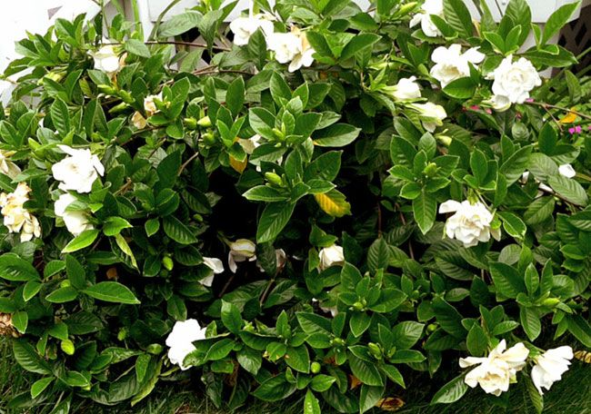 Best Wow Factor Bushes Multitaskers For Your Yard Plants Dwarf