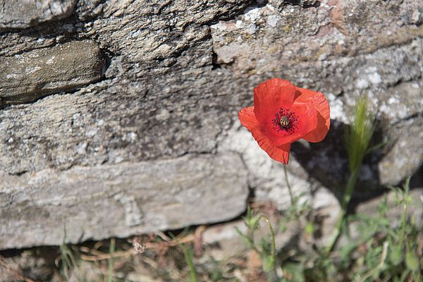 Poppy framed by the ancient stones of a wall