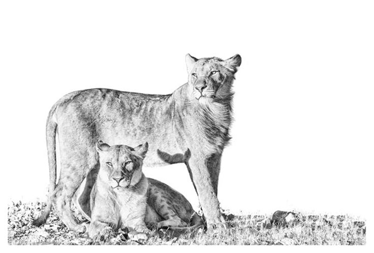 black and white wildlife print of desert lions by wildlife photographer Dave Hamman