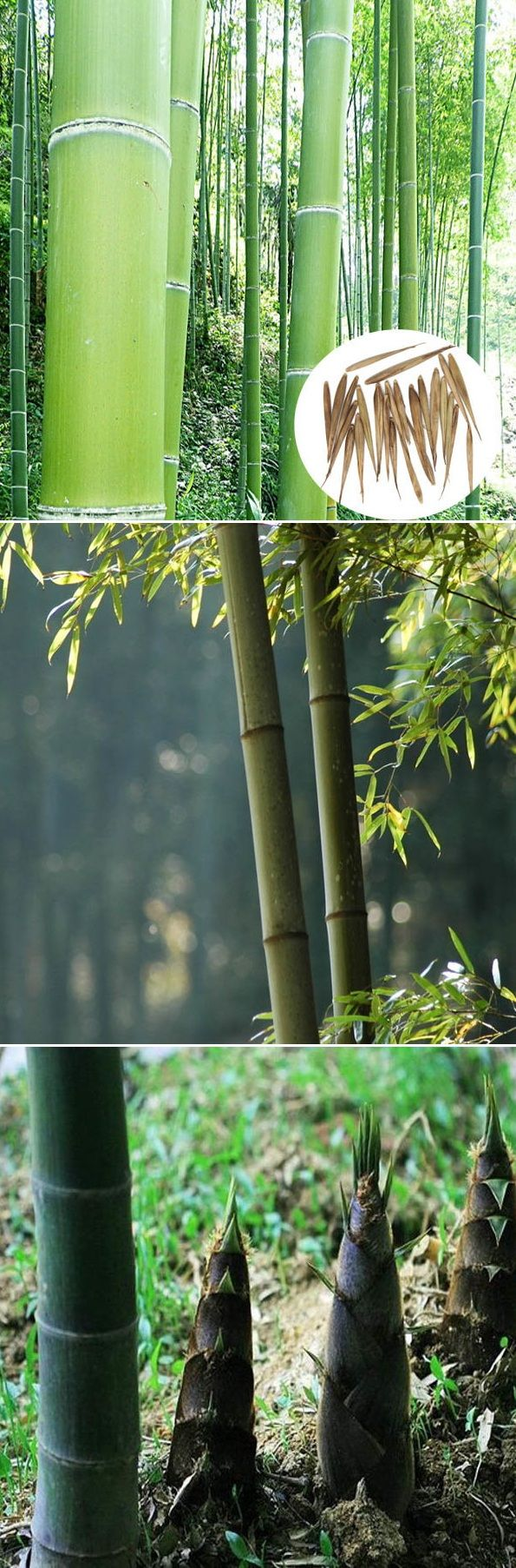 US$3.29  100pcs Moso bamboo seeds, also Mao zhu in Chinese pinyin. Evergreen plants for Bamboo gardens & parks