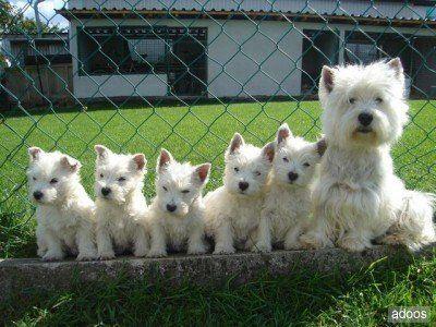 Familia #westie Algún día así será mi Boster :)