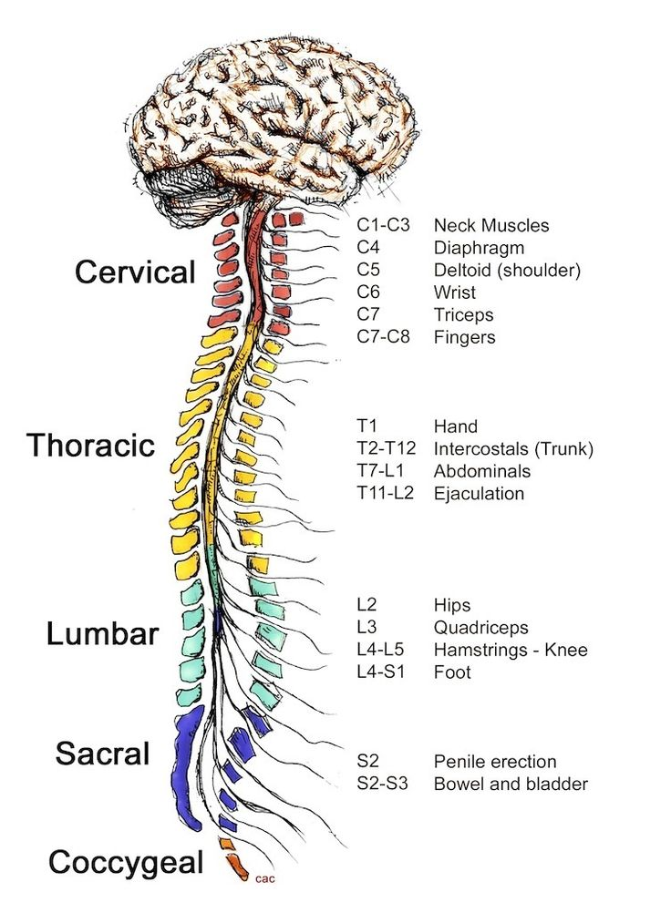 The Central Nervous System Cns Controls Most Functions