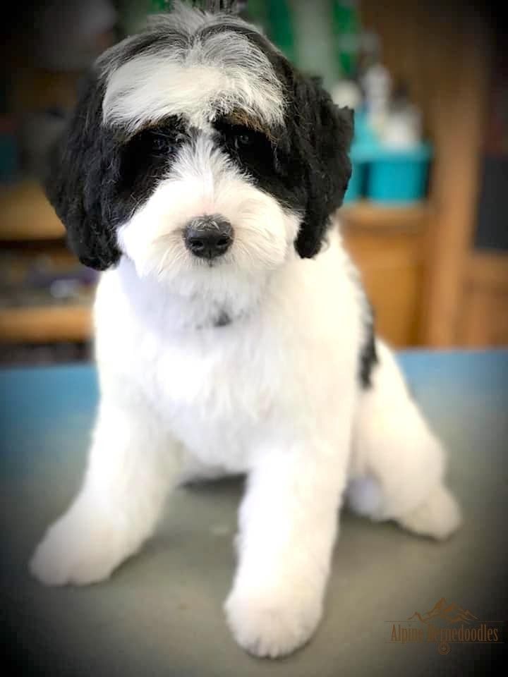 Miniature Micro Mini And Australian Bernedoodle Puppies For Sale Alpine Bernedoodles Bernedoodle Puppy Bernedoodle Old English Sheepdog Puppy