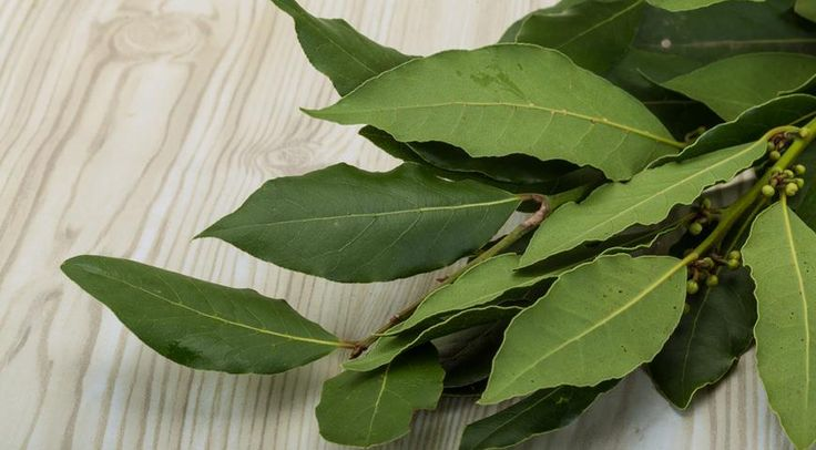 Удивительно, но листья лаврового листа можно использовать для создания лечебного масла, обладающего немалым количеством полезных свойств.