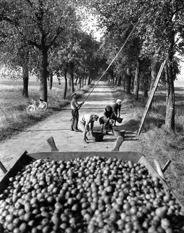 Cueillette des poires route d'Obersteinbach. 1945. Robert Doisneau