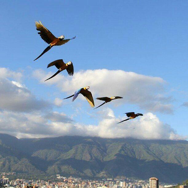 Feliz viernes! Fotografía cortesía de @mabelcornago #LaCuadraU #GaleriaLCU #Caracas #Guacamayas #Macaws #FelizViernes
