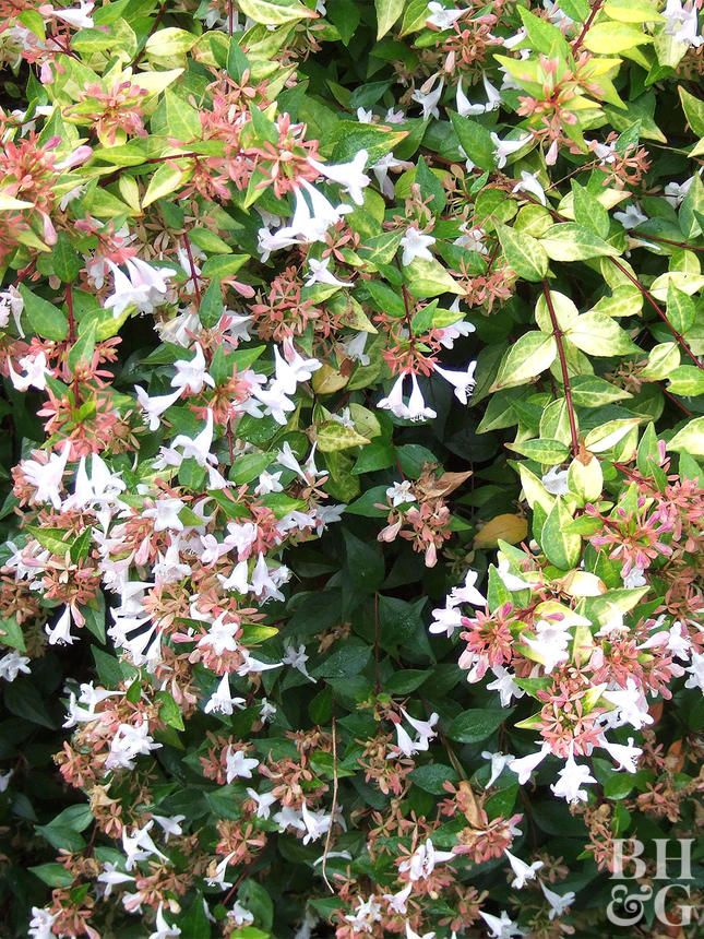 22 Of The Best Plants You Can Use For Hedges Garden Garden