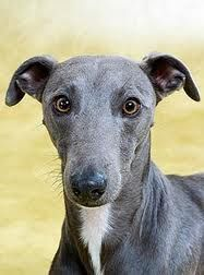 Whippet - Adult & Puppy Pictures, Size, & Temperament