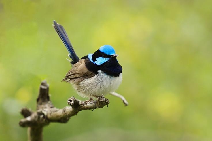 Blue Wren by ~dvixen