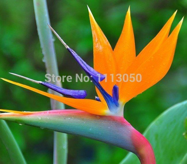 Shipping.100pcs bird рай семена цветок чайник горшки гибридный bird рай бонсай растения семена для для дома и сад
