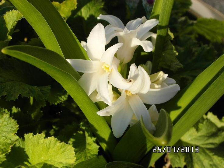 !st hyacinth of the season