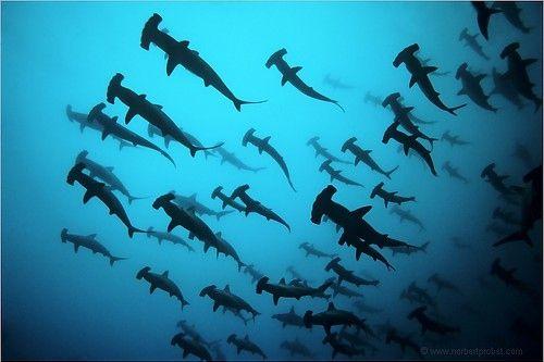 hammerhead sharks: Hammerhead Sharks, Hammer Head, Buckets Lists, Schools, Scubas Diving, Sea, Photography, Hammerheadshark, Animal