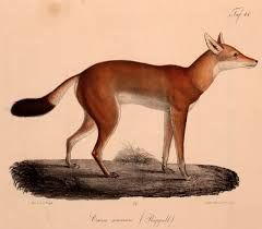 Is this what they call a grey-fox cos it's got very long legs and looks remarkably like a greyhound ish.
