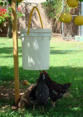 Chicken bucket waterer..A poop-free chicken waterer for just a few bucks using a bucket and a .50 cent water dripping nipple. #PurelyPoultry
