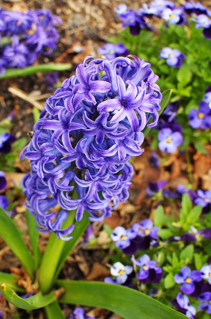 Purple hyacinth: My favorite flower! Just put some in pots and will try them in the ground once the flowers die back.