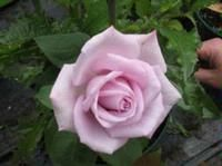 1000 images about roses on pinterest tigers fragrance. Black Bedroom Furniture Sets. Home Design Ideas