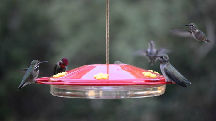The West Texas Hummingbird Feeder Cam has been swarmed by hummingbirds lately. Head over to the website of their live cam and enter their West Texas Hummingbird Cam ID Challenge #1. Take a shot at identifying the type of hummer in the recorded clip and submit your answer for a chance to win a great prize! Here is the link: