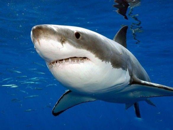 Wiite haai, mensenhaai - The great white shark, great white, white pointer, or white death