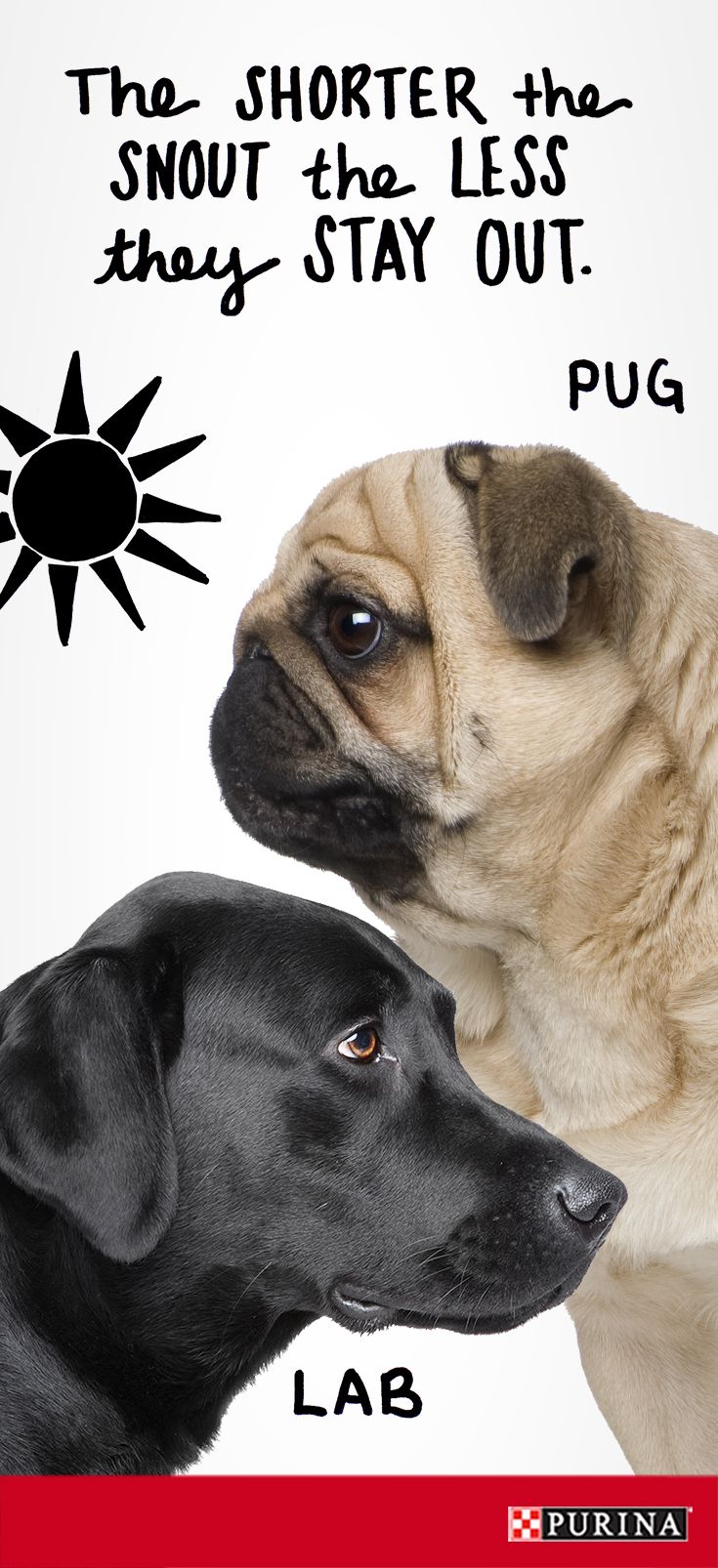 Worried about your dog overheating? Did you know that certain dog breeds are more prone to overheating based on the size of their snout? Short-nosed dogs like Pugs have a harder time panting to cool off than longer nosed dog breeds like labs.