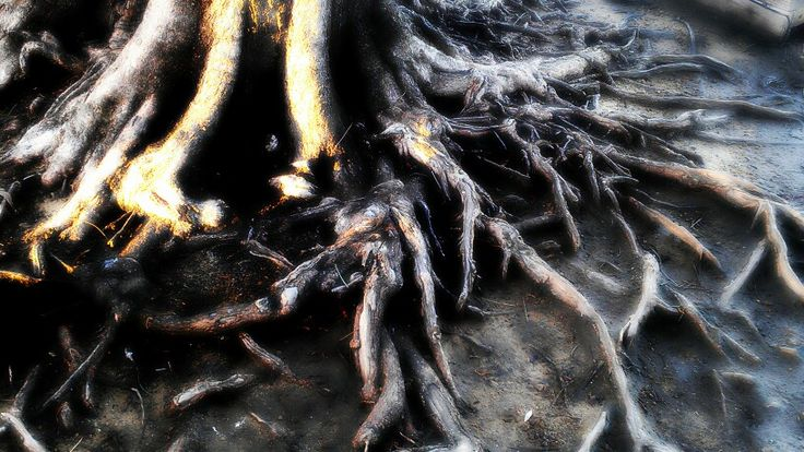 Riverbank tree roots