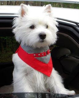Pretty Westie...if you know about a Westie, you will want one!!!!!!