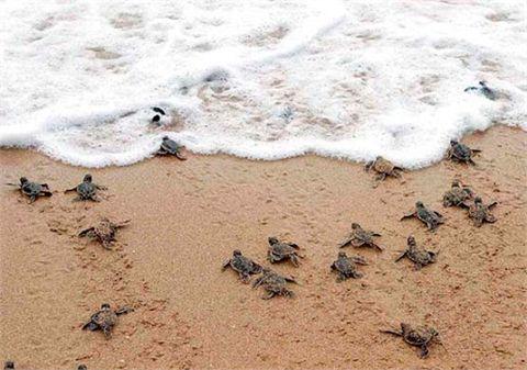 Tartarughe marine a Playa Tortuga, uno spettacolo emozionante da vivere con tanti amici single!