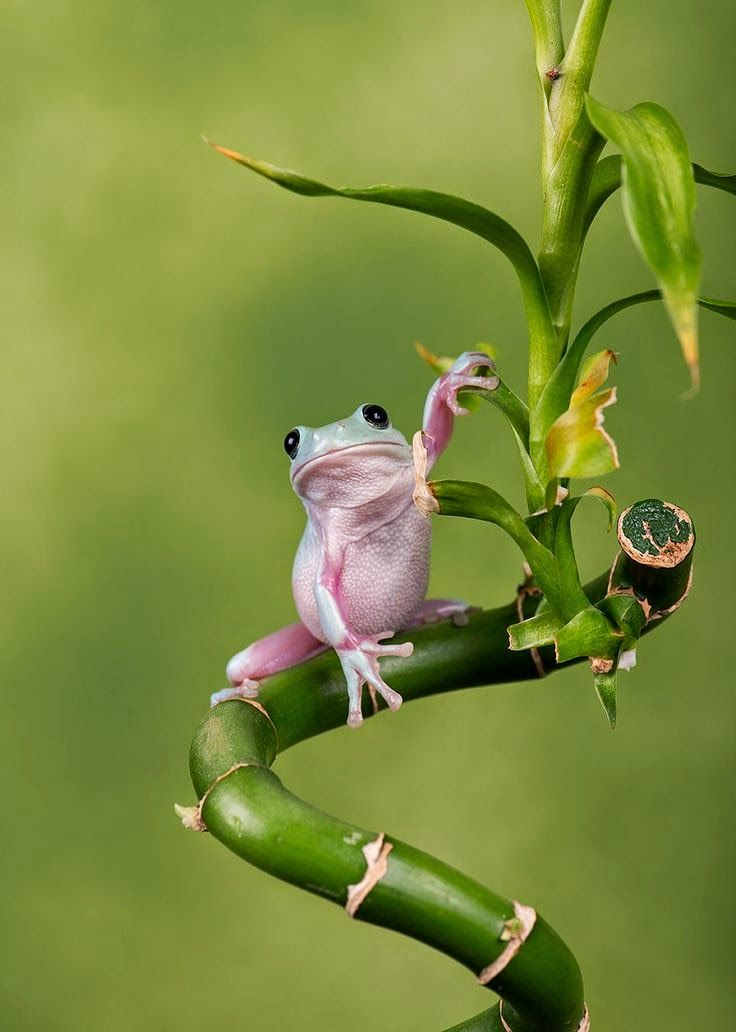 WhitesTree Frog by Robert