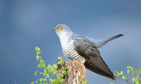 From Norfolk to the Congo … but will Martin the cuckoo ever make it home?  Britain's cuckoo population is in sharp decline, so ornithologists have tracked five migrating birds to try to find out why