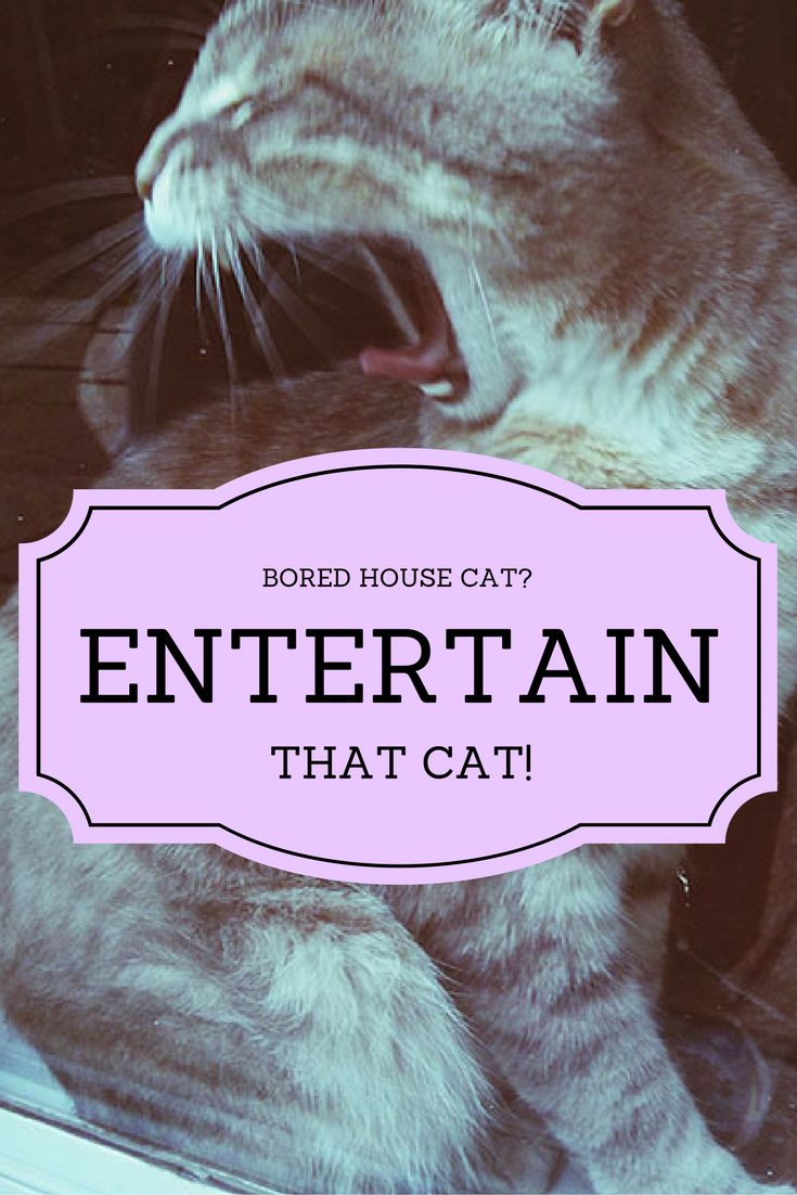 Bored House Cat? Here's How You Can Entertain That Cat! - https://kittyclysm.com/bored-cat-entertainment/