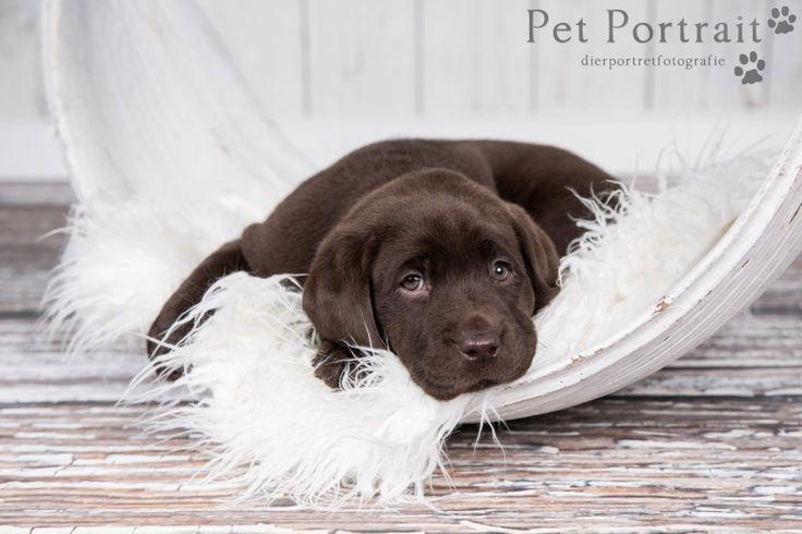 Hondenfotograaf Hillegom - Nestfotoshoot Labrador pups-16
