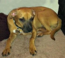 Adopt Cindy On Petfinder Boxer Dogs Dogs Labrador Retriever Mix