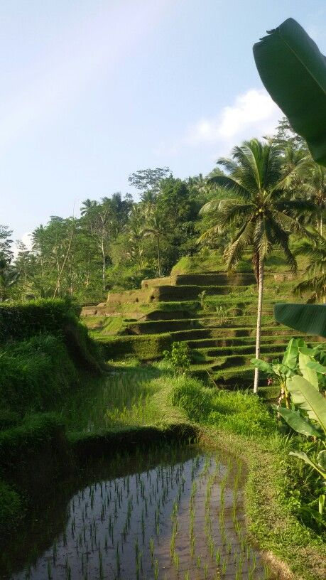 Rice terrace. Tegalalang. Ubud. Bali.