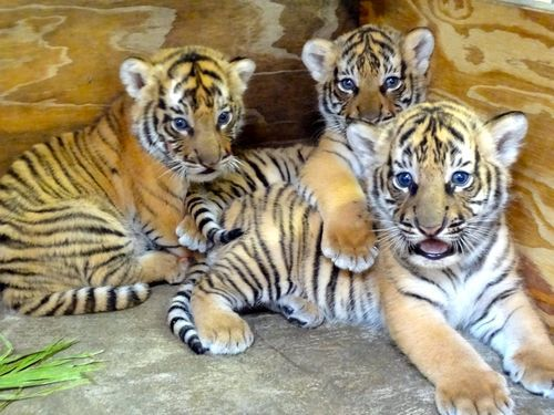 Three endangered Malayan Tiger cubs were born at Busch Gardens Tampa onMarch 31. The litter consists of two males and one female, each weighing between six and seven pounds.