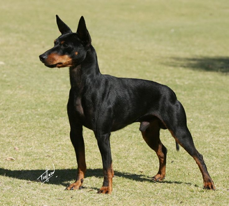 "English Toy Terrier // Aust Gr Ch Sasndash ACDC ""Angus"" - Photo by Trafford"