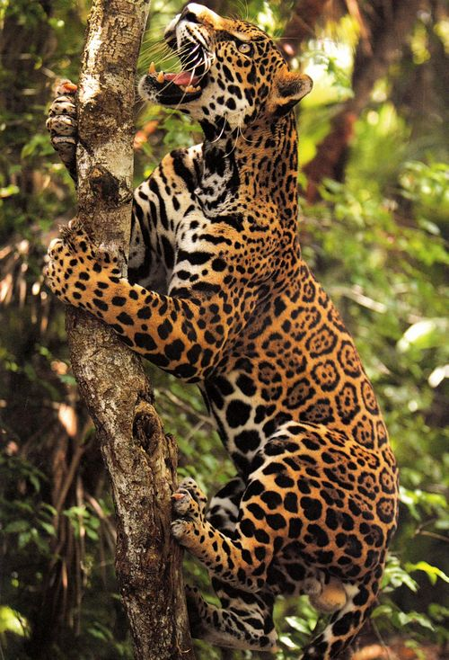 The jaguar is a main symbol of the Indians of Central America, whose traditions…