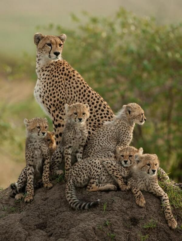 One big happy family Gorgeous picture of a Cheetah family!