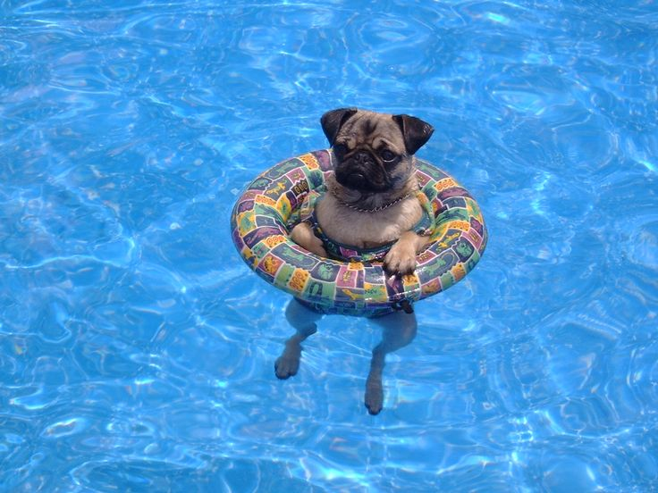 Our pug when she was little taking a dip in the pool
